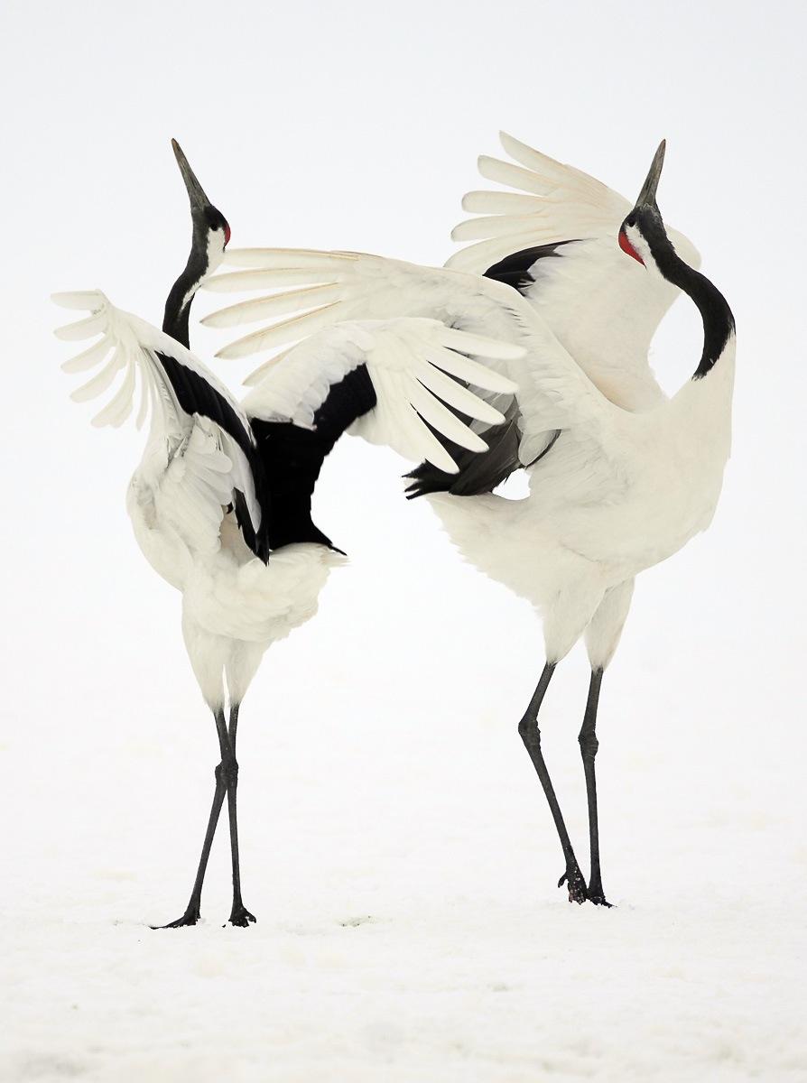 Dancing Japanese Cranes – Hokkaido, Japan – Simone Sbaraglia - photo#10