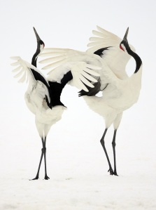 Dancing Japanese Cranes – Hokkaido, Japan – Simone Sbaraglia