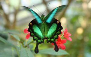 emerald-green-butterfly