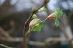 first buds of Spring